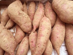 こちらも大玉。スーパーのサツマイモの2倍近くあるかも。品種は紅はるかです。