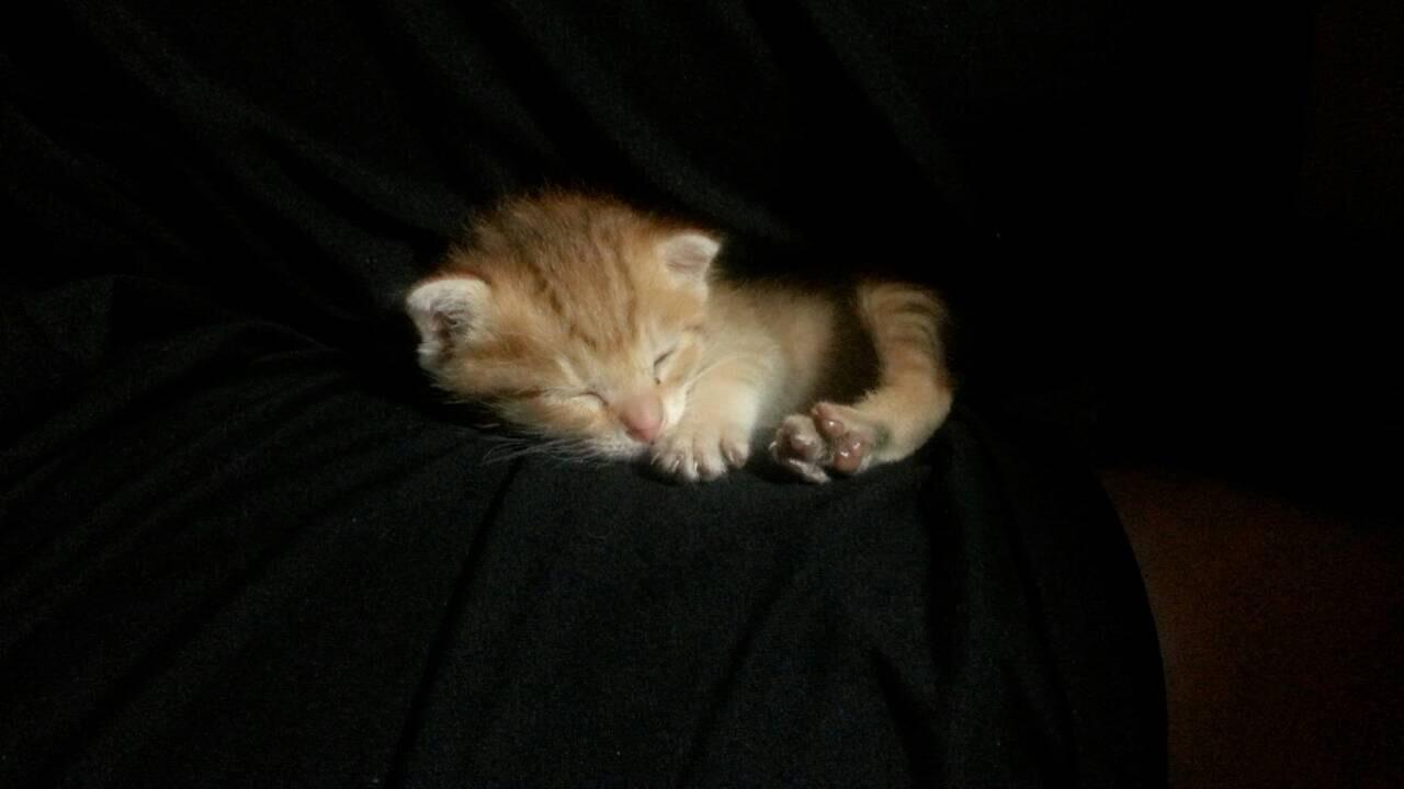 【モフモフ注意】へその緒がついていた赤ちゃん猫とのモフ記録⑵