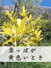 みかんの葉っぱが黄色い原因とオーガニックな対処方法