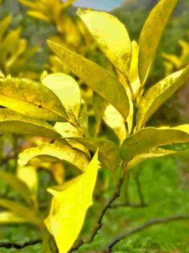 黄色くなってしまったみかんの葉っぱ