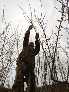 【無肥料栽培の秘密兵器】切り上げ剪定は植物ホルモンの働きを助け、生命力を引き出す!