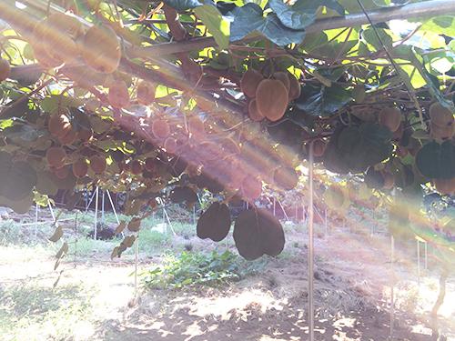 【自然栽培】ベテランに聴く!キウイの育て方を7つのポイントにまとめてみる