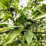 【自然栽培】無肥料で500本以上のみかんを育てる。夏の摘果作業